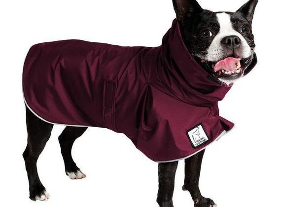 Why Your Boston Terrier Should Wear a Coat in the Winter