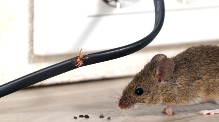 Are Rodents a Problem in Your Home? Here is How You Can Get Rid Of Them