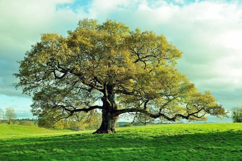 Oak Trees are often used for their lumber.
